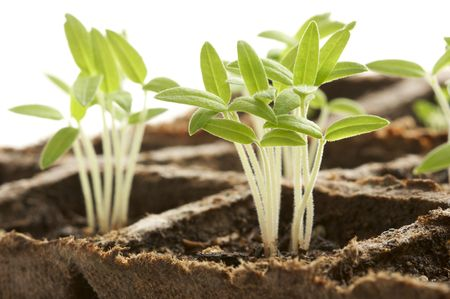 Backlit Sprouting Plants with White Background. Stock Photo