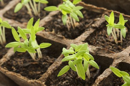 Sprouting Plants in Rows Stock Photo