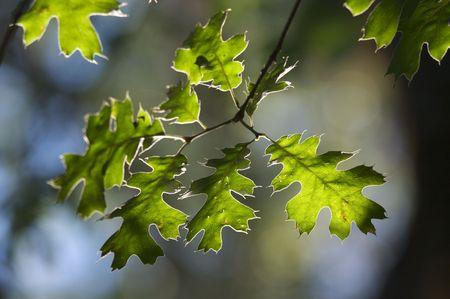 Backlit Oak Leaves with narrow depth of field. photo