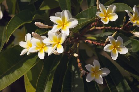 Yellow Plumeria Flowers on the tree in Kauai, Hawaii