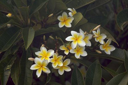 Yellow Plumeria Flowers on the tree in Kauai, Hawaii photo