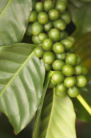 Coffee Beans on the Branch in Kauai, Hawaii Standard-Bild