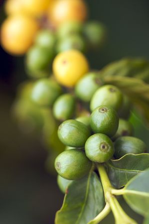 kauai: Coffee Beans on the Branch in Kauai, Hawaii Stock Photo