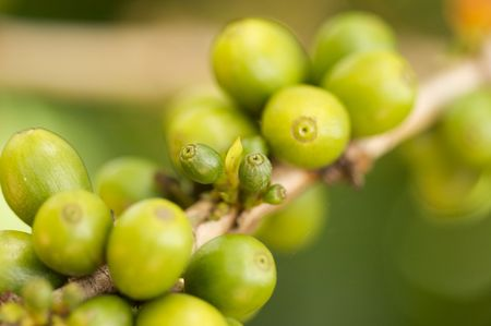 Coffee Beans on the Branch in Kauai, Hawaii photo