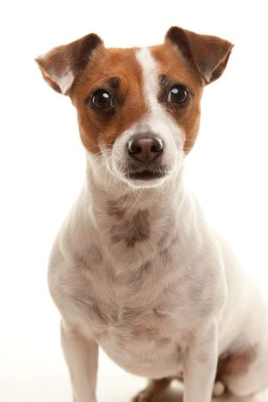 Portait of an Adorable Jack Russell Terrier Isolated on a White Background. photo