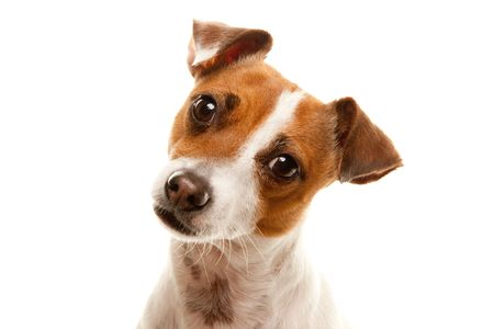 russell: Portait of an Adorable Jack Russell Terrier Isolated on a White Background.