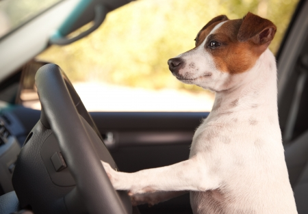 jack russell: Jack Russell Terrier Dog Enjoying a Car Ride.