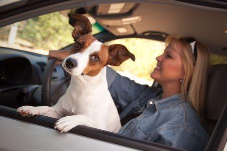 Jack Russell Terrier Dog Enjoying a Car Ride. photo