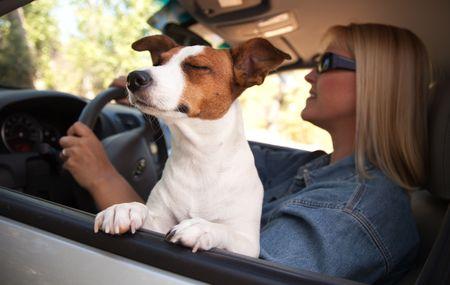 grappige honden: Jack Russell Terrier Dog Genieten van een Car Ride.