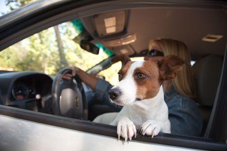 mujer con perro: Jack Russell Terrier Dog Enjoying a Ride de coches. Foto de archivo