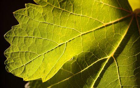 dramatically: Dramatically Lit Grape Leaf Details on the Vineyard.