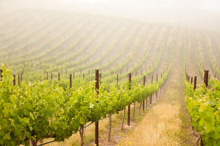 room for your text: Beautiful Lush Grape Vineyard In The Morning Mist and Sun with Room for Your Own Text.