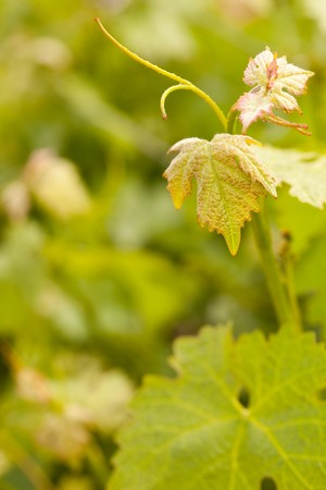 room for your text: Beautiful Grape Vineyard Leaves In The Morning Mist and Sun with Room for Your Own Text. Stock Photo