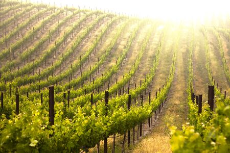 ornamental horticulture: Beautiful Lush Grape Vineyard In The Morning Mist and Sun with Room for Your Own Text.