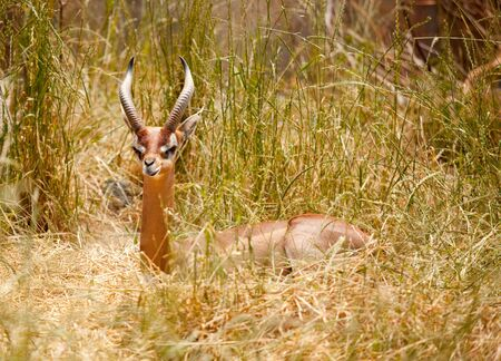 Beautiful Gazelle Resting in the Tall Grass. photo