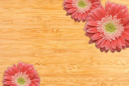 Bright Pink Gerber Daisies with Water Drops on a Bamboo Wood Background with Copy Space. photo