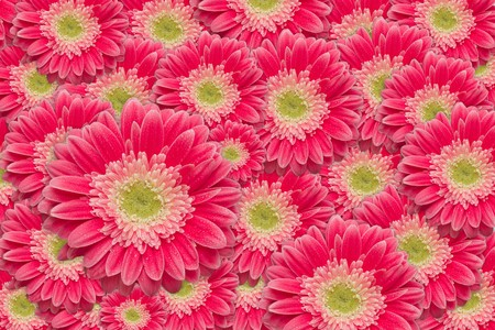 Bright Pink Gerber Daisies with Water Drops Background Pattern. photo
