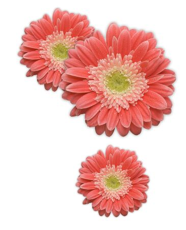 Pink Gerber Daisy Corner Design Element Isolated on a White Background.
