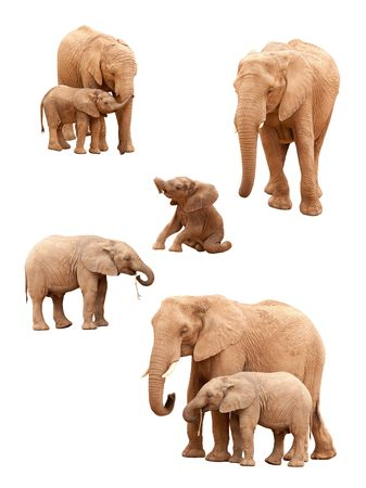 herbivore natural: Set of Baby and Adult Elephants Isolated on a White Background.