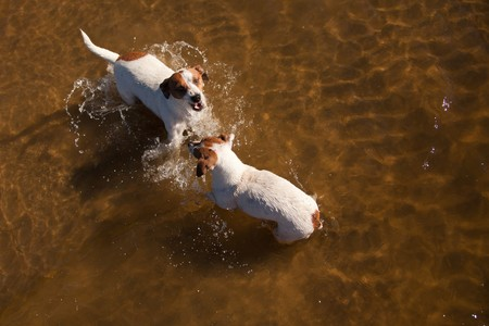 Two Playful Jack Russell Terrier Dogs Playing in the Water. photo