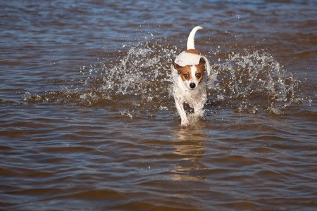 Playful Jack Russell Terrier Dog Playing in the Water. photo