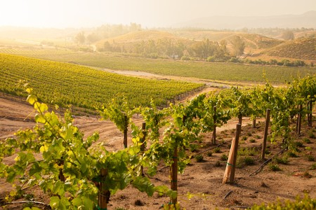 Beautiful Lush Grape Vineyard In The Morning Mist and Sun with Room for Your Own Text. photo