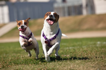 Energetic Jack Russell Terrier Dogs Running on the Grass Field. Stock Photo - 7700619