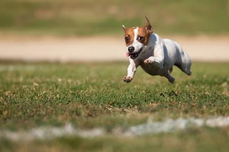 dog days: Enérgico Jack Russell Terrier Dog se ejecuta en el campo de césped.  Foto de archivo