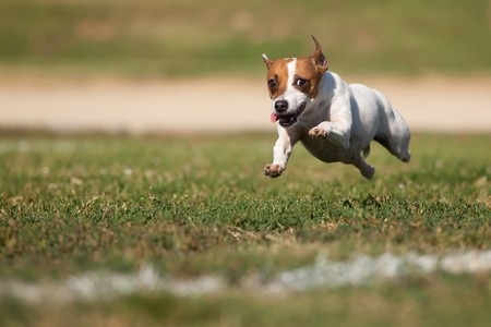 terriers: Energetic Jack Russell Terrier Dog Runs on the Grass Field.