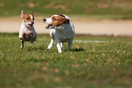 Energetic Jack Russell Terrier Dogs Running on the Grass Field. photo