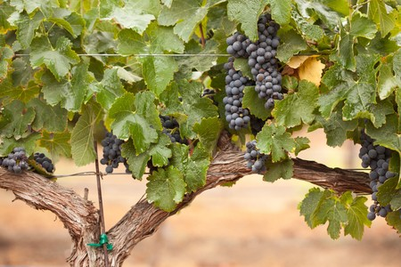 Lush, Ripe Wine Grapes on the Vine Ready for Harvest. 스톡 콘텐츠