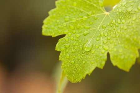 close up food: Lustrous Green Grape Leaf with Water Drops Macro Image.