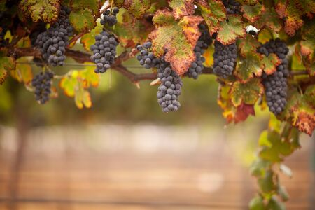 Lush, Ripe Wine Grapes on the Vine Ready for Harvest. Stockfoto