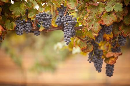 Lush, Ripe Wine Grapes on the Vine Ready for Harvest. Archivio Fotografico