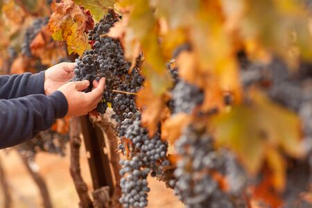 Farmer Inspecting His Ripe Wine Grapes Ready For Harvest. Stockfoto