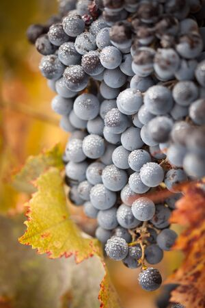 Lush, Ripe Wine Grapes with Mist Drops on the Vine Ready for Harvest. photo