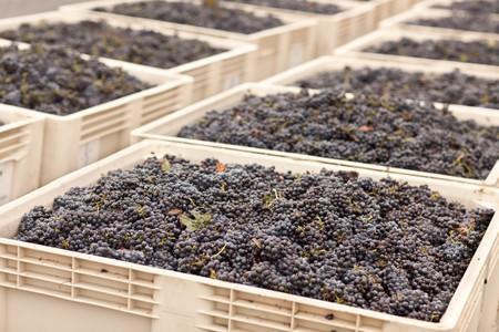 무성 한 수확 된 레드 와인 포도 상자에서.