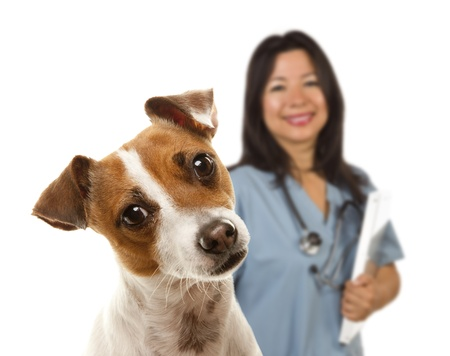 jack up: Adorable Jack Russell Terrier and Female Veterinarian Behind Isolated on a White Background. Stock Photo