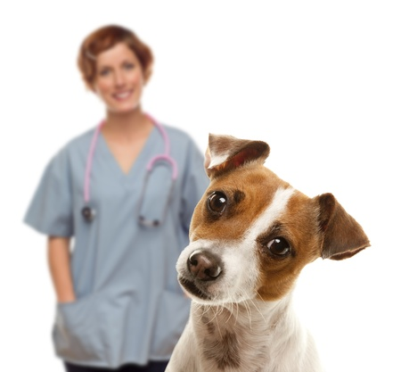veterinarians: Adorable Jack Russell Terrier and Female Veterinarian Behind Isolated on a White Background. Stock Photo