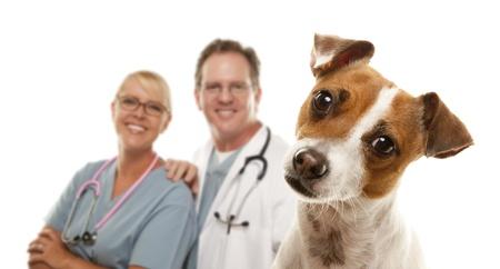 veterinario: Adorable Jack Russell Terrier y veterinarios detr�s aislaron sobre fondo blanco.
