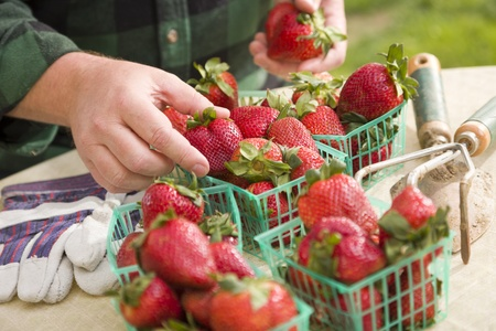 Farmer Gathering Fresh Red Strawberries in Baskets with Tools and Gloves Nearby. photo