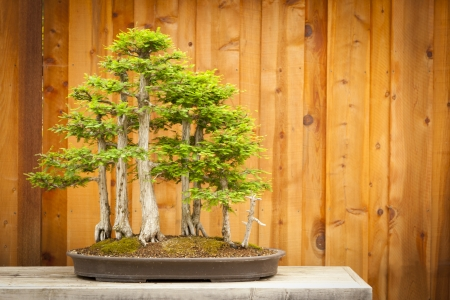 Beautiful Bald Cypress Bonsai Tree Forest Against A Wood Fence. photo