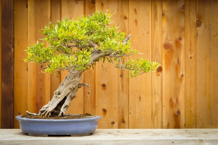 Beautiful Pomegranate Bonsai Tree Against Wood Fence. photo