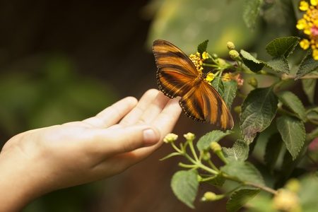 Child Hand Touching a Beautiful Oak Tiger Butterfly on Flower. photo