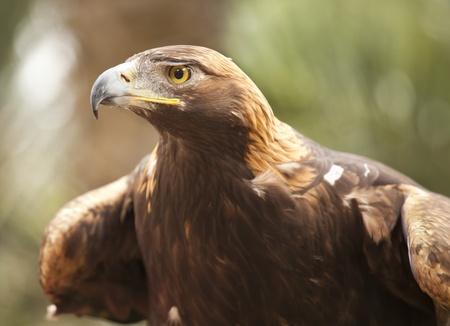 aigle royal: Belle Californie Golden Eagle Le Fond Feuillage. Banque d'images