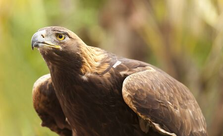 aguila dorada: Hermoso de California Golden Eagle contra follaje de fondo.