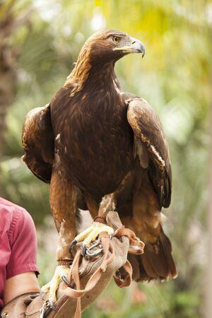 aguila real: Handler, con hermosa águila de oro de California contra el follaje de fondo.