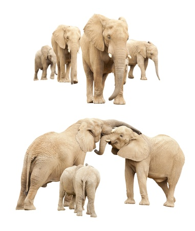 Set of Baby and Adult Elephants Isolated on a White Background. Stock Photo - 13471828