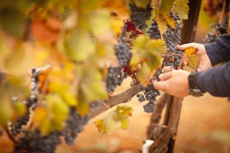 농부가 수확을위한 그의 잘 익은 와인 포도 준비를 검사.