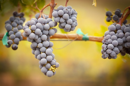 valley: Lush, Ripe Wine Grapes on the Vine Ready for Harvest. Stock Photo